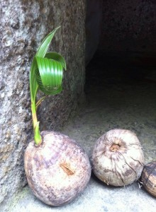 life coming out of a very dry coconut, in a temple in Bali